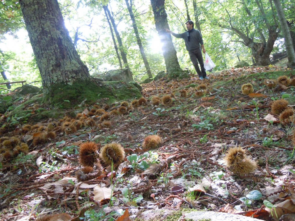 chestnuts1