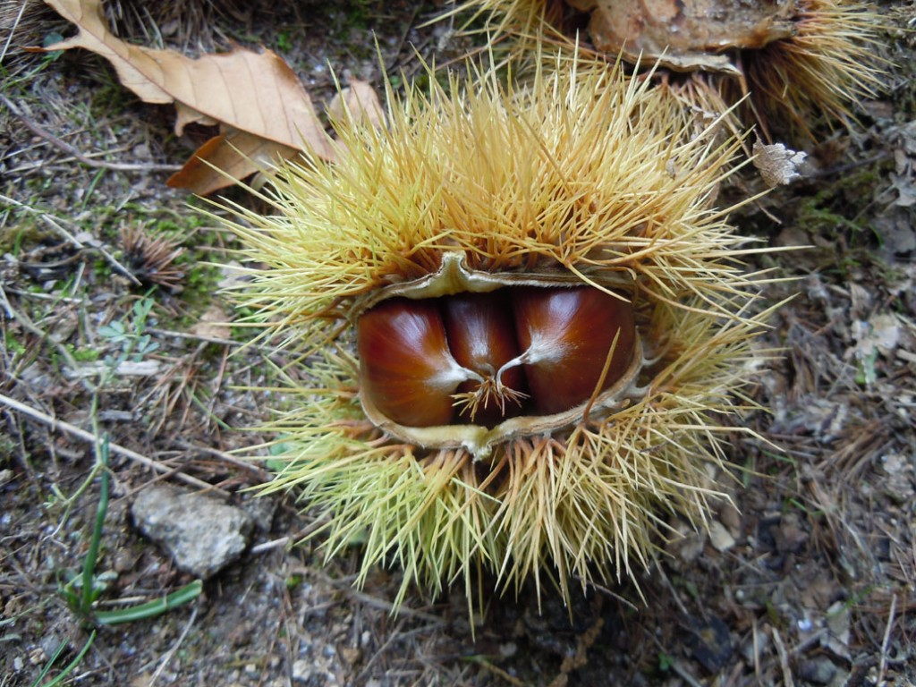 If you visit Maremma in the fall you'll encounter lots of free chestnuts
