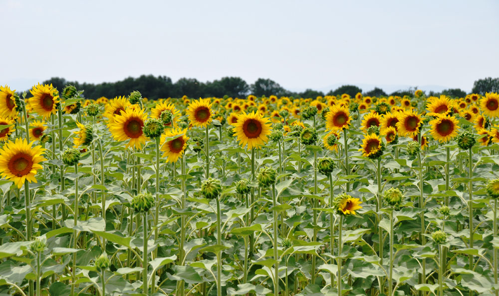 Of Sunflowers In Maremma