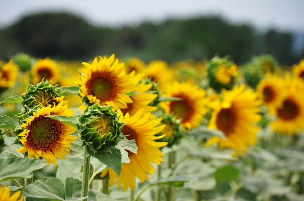sunflowers-tuscany3