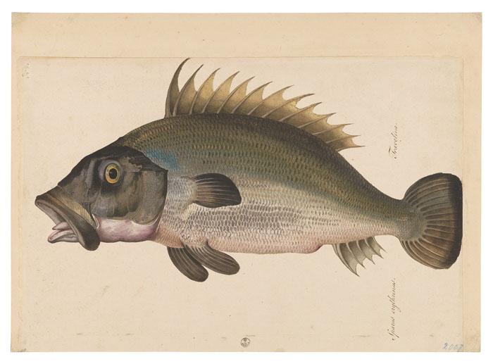 Ligozzi, Fish