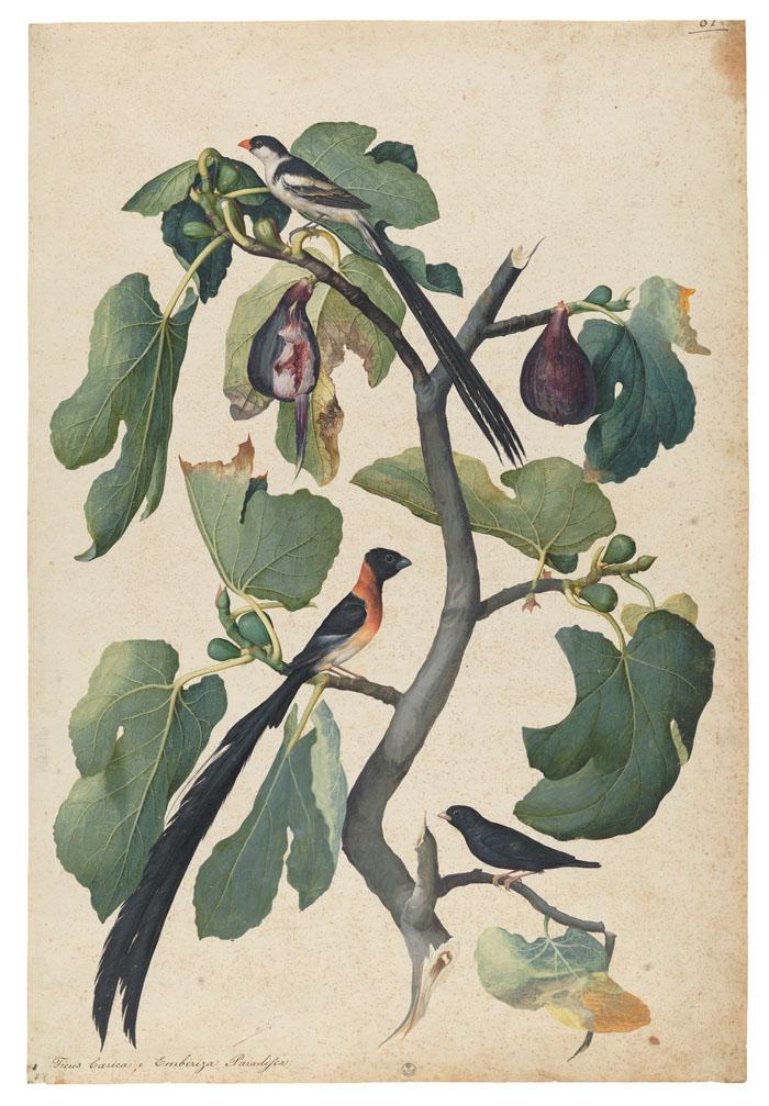 Jacopo Ligozzi , Botanical tables, Circa 1577-87 (birds and prunes)