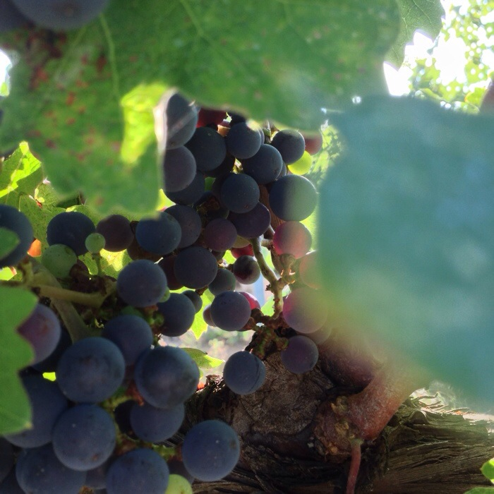 Grapes on the vine at Muralia