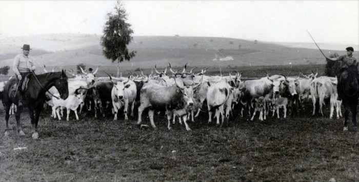 Butteri tending cows in the 1950s   Photo Flickr user @Marcoquarantotti