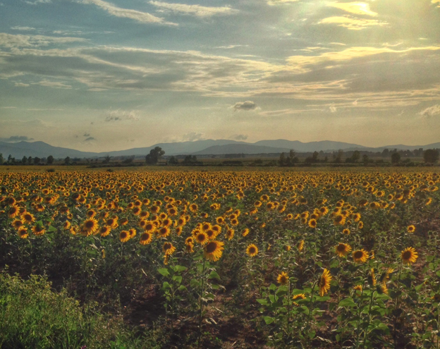 Sunflowers in maremma