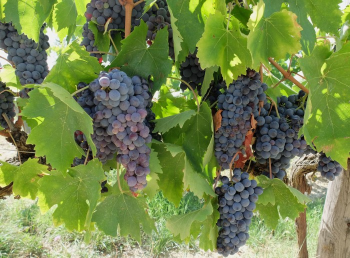 An example of overly dense production of sangiovese grapes