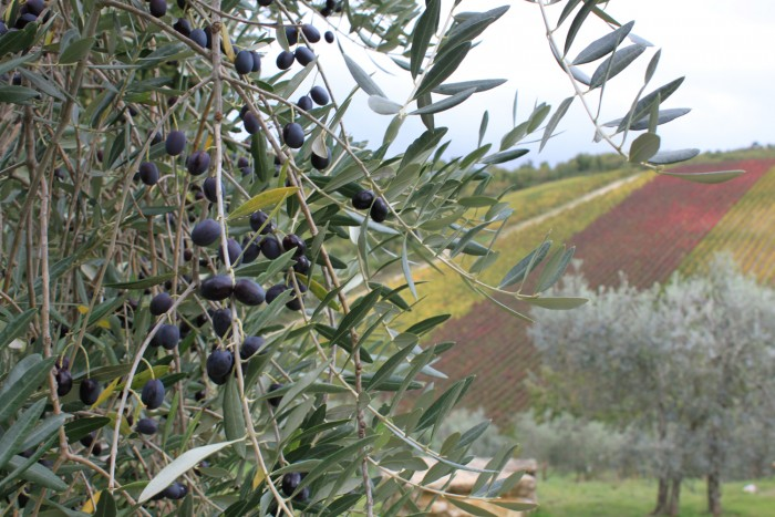 Olive grove and vines   Photo Coral Sisk