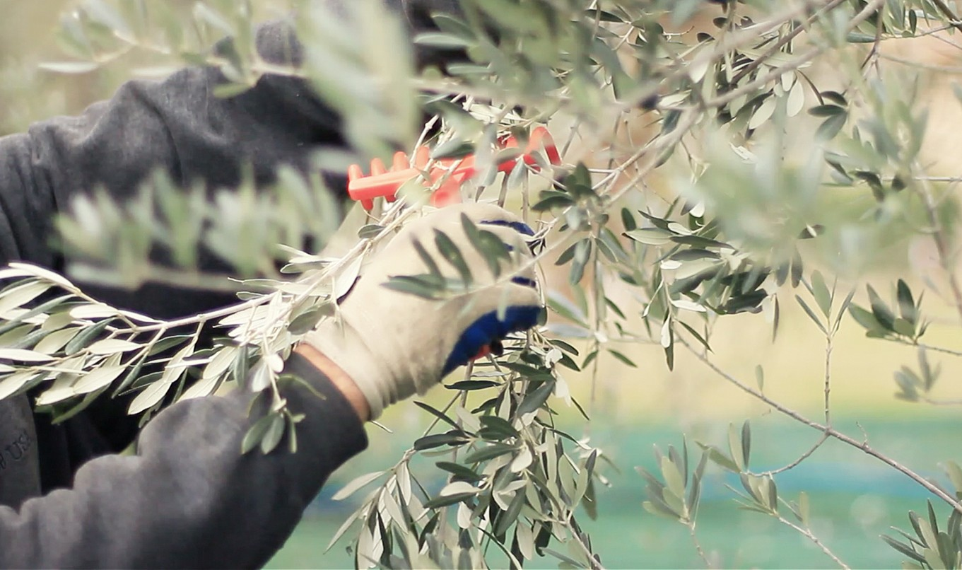 Picking olives on an olive oil harvest tour | Photo kmzerotours