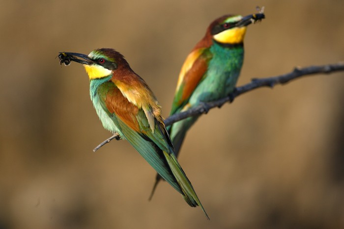 A rather exotic looking Bee Eater in Maremma | Photo Fabio Cianchi