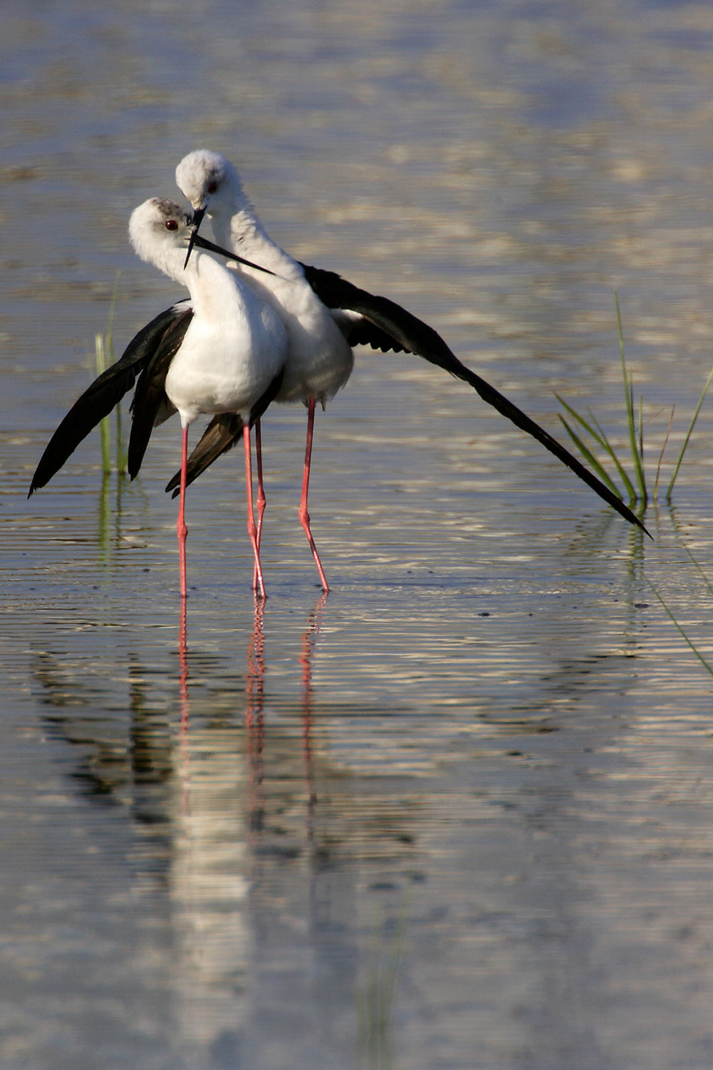 Black winged stilt | Photo Fabio Cianchi