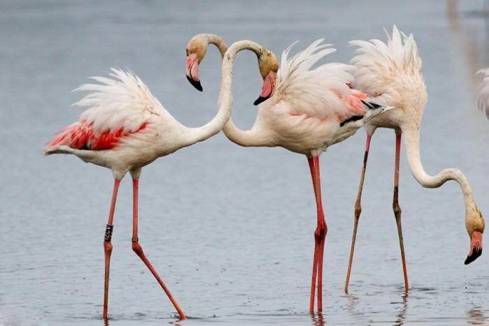 The Greater Flamingo at WWF Oasi Lago di Burano | Photo Fabio Cianchi