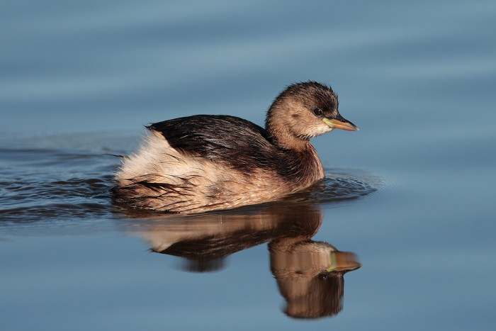 Spotting one of these Little Grebe (tuffetti), my heart jumped for joy! Isn't it adorable? | Photo Fabio Cianchi