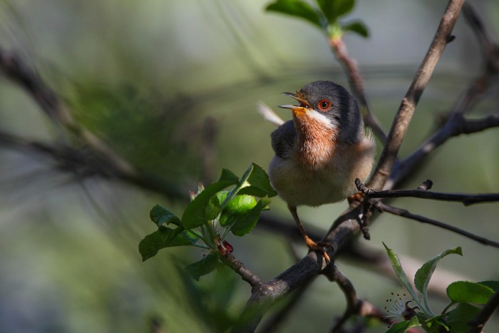 Subalpine Warbler enjoying the local foliage | Photo Fabio Cianchi