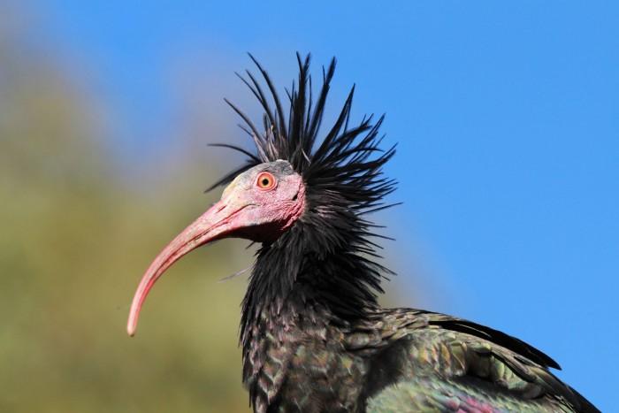 The northern bald ibis