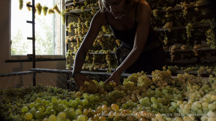 Harvest time: Vetùa winemaker in Cinque Terre prepares grapes for drying | Photo copyright Miriam Rossignoli www.miriamrossignoli.it