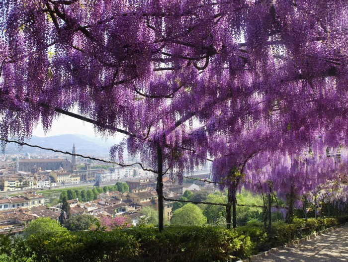 Wisteria at Bardini Garden with view of Santa Croce, April 14, 2017