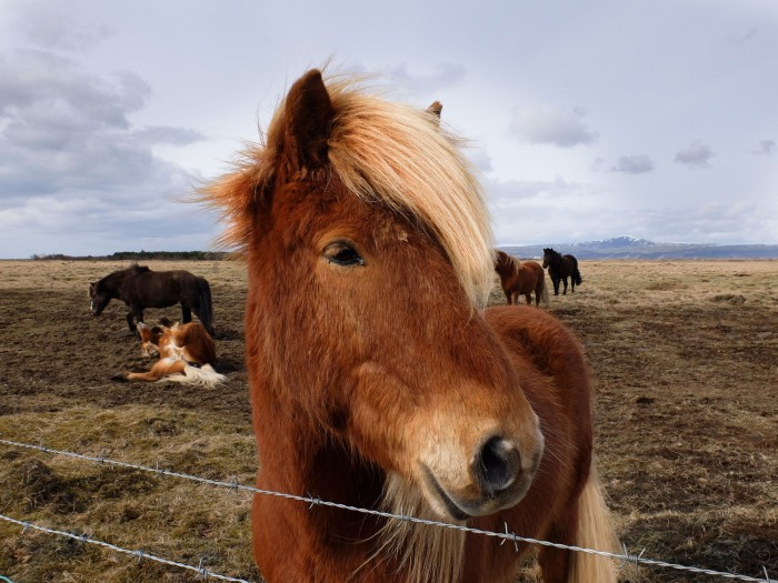 The country's very attractive blonde horses are another big draw.