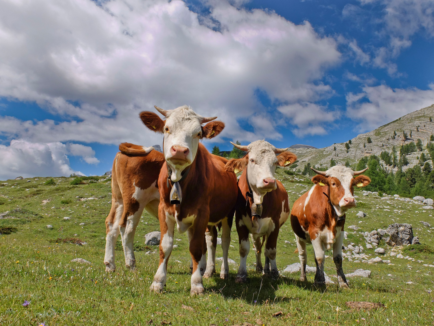 These cows just pose in the mountains and wait for you to come along and photograph them