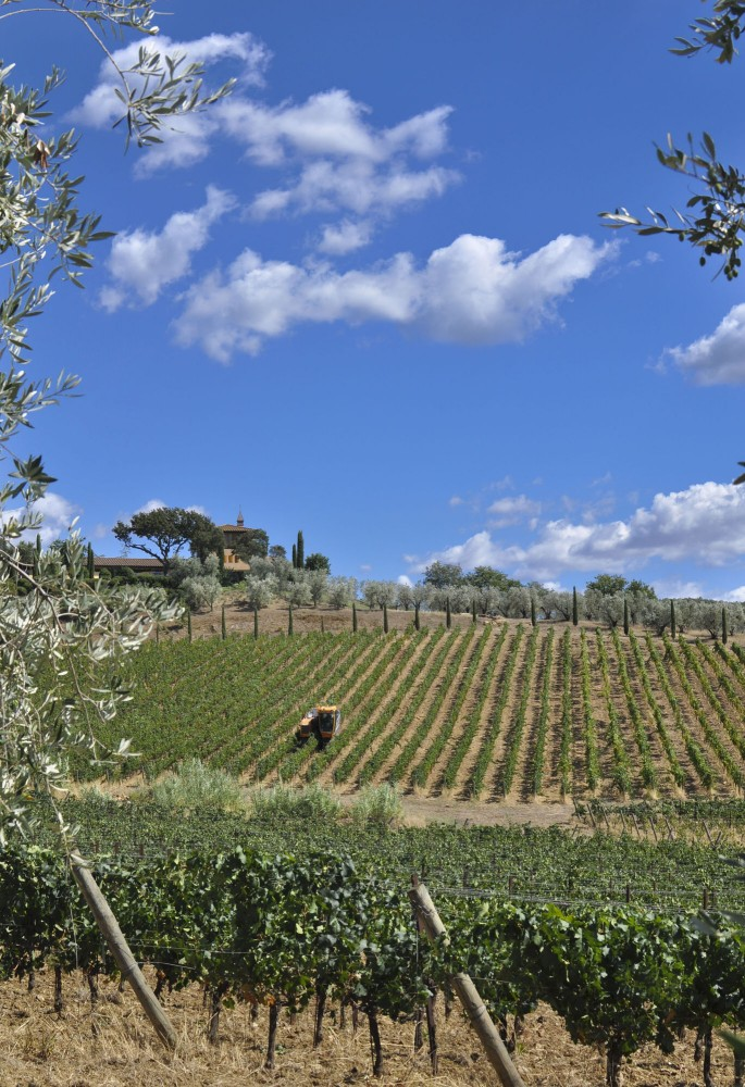 Harvesting grapes under the blue sky of Maremma
