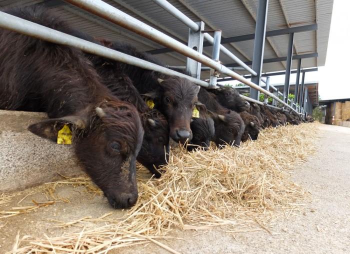 The cows that make buffalo mozzarella