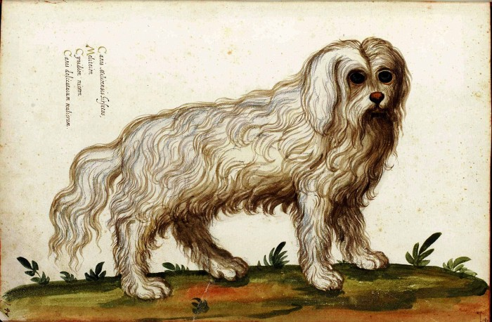 An early modern print showing a bolognese dog