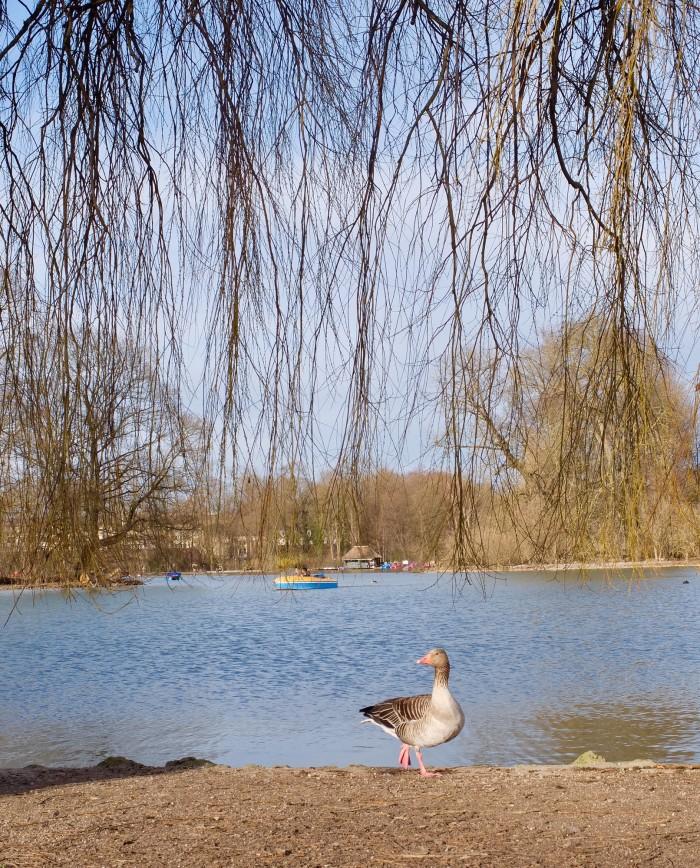 Duck in Munich's biggest park