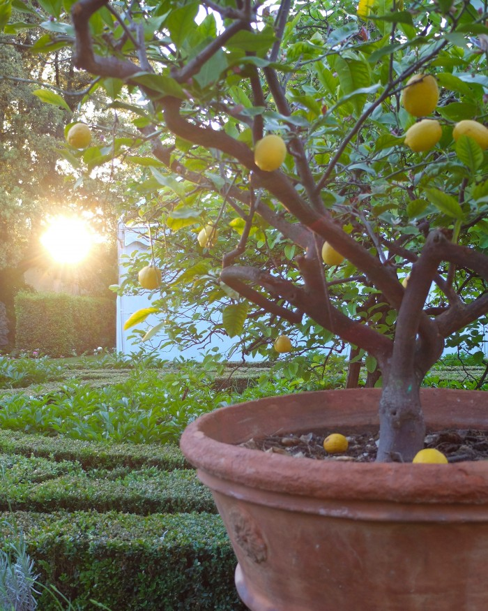 One of many lemon trees