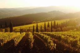 vineyard tuscany